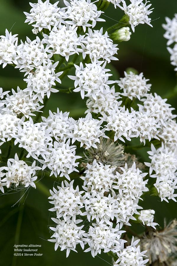 White Snakeroot History Blooming Steven Foster S Herbalblog