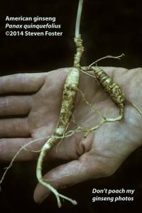 American ginseng, Panax quinquefolius, American ginseng roots, 西洋参, xi yang shen