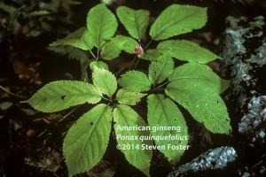 American ginseng, Panax quinquefolius, American ginseng in fruit, American ginseng plant, 西洋参, xi yang shen