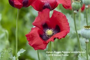 Opium poppy, Papaver sominferum in bloom