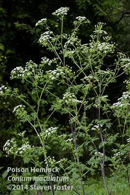 Poison Hemlock, Conium maculatum