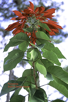 A poinsettia in Belize