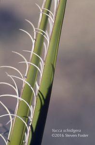Yucca schidigera, Mojave Yucca