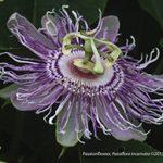 Sweet Calebash Passiflora Maliformis passion flower edible fruit seed 10 SEEDS