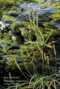 Plantago maritima var. juncoides; goosetongue plantain
