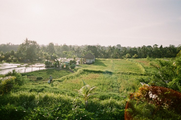 Analogue photo of the Ubud rice fields at sunset