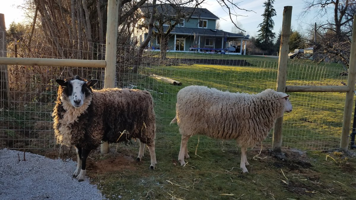 Phoenix and Taleggio – the newest animals on the homestead