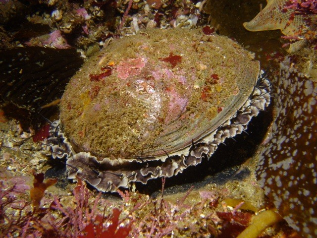 Protected green abalone (Haliotis fulgens) from California's Channel Islands