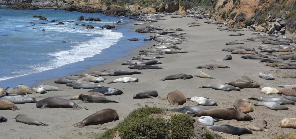 Northern elephant seals on the beach at Piedras Blancas