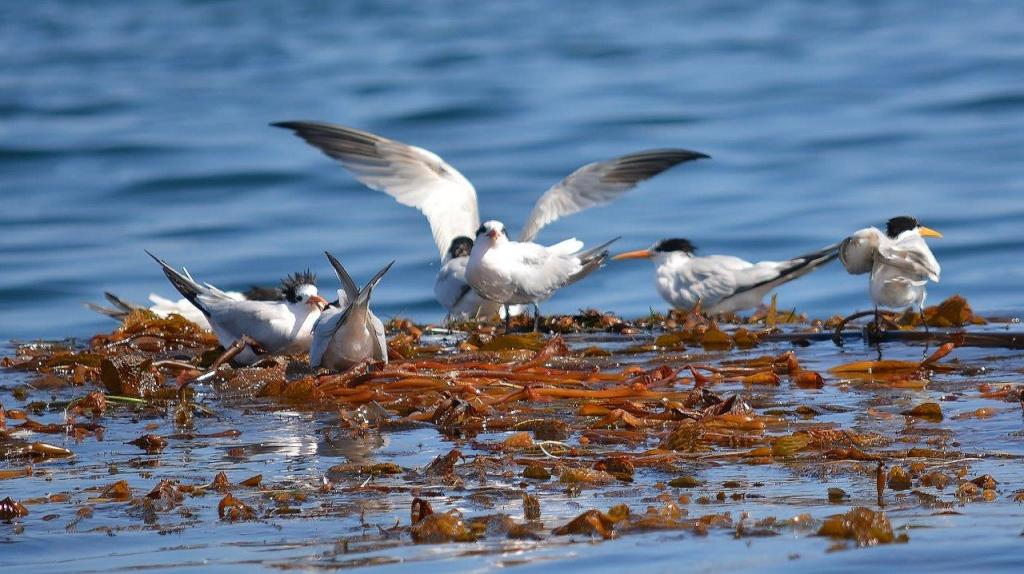 Elegant terns feeding young in kelp beds off Lovers Cove, Pacific Grove, California