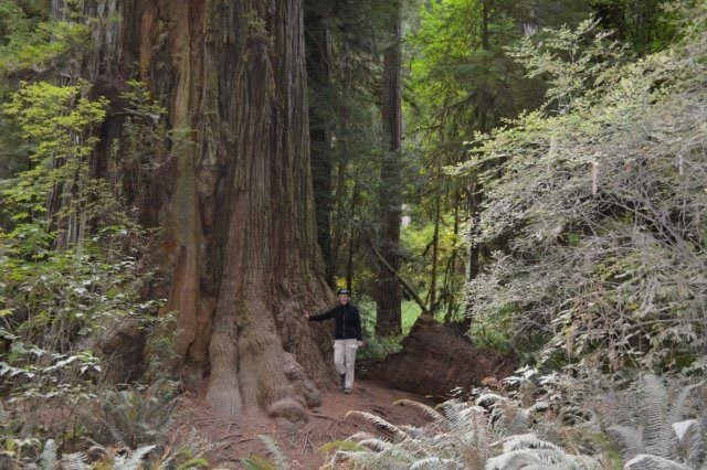 At Jedediah Smith Redwoods State Park, beside one of the largest (redwood) trees on Earth