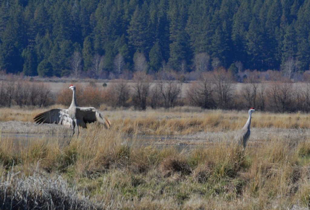 Sandhill cranes in mating ritual at Butte Valley Wildlife Area