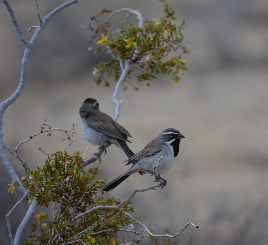Black-throated sparrows are often found near desert springs.