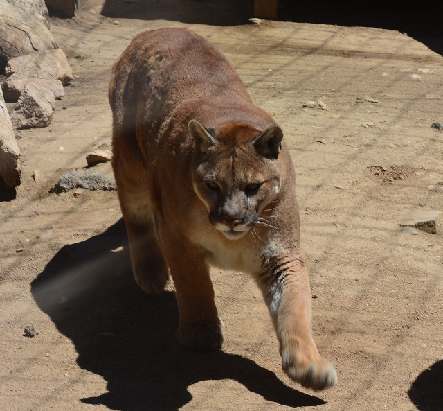 Canyon the mountain lion at the Big Bear Alpine Zoo