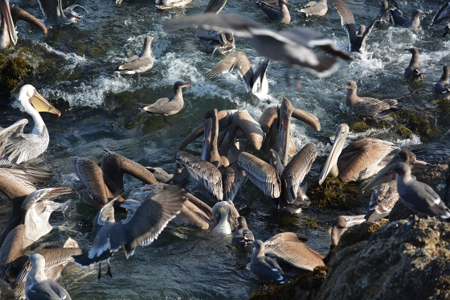 Brown pelicans jostling for position near Pacific Grove, California. Photo by Steven T. Callan