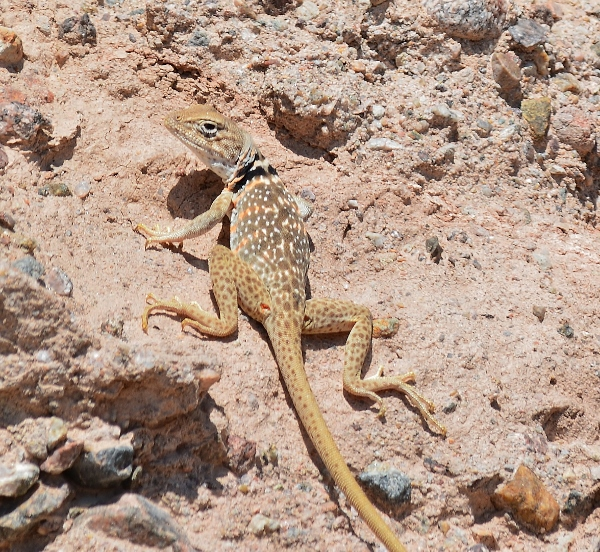 Collared lizards have unusually large heads and run on their hind legs. Prior to regulation changes, this native species was also coveted by California's pet trade.