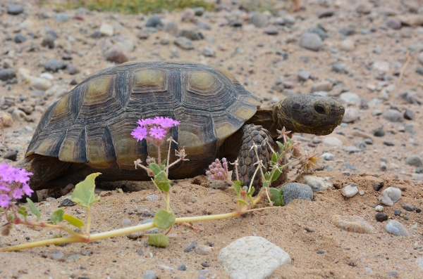 Rarely seen in the wild outside protected areas like Joshua Tree National Park, desert tortoises are protected by law and may not be taken or possessed in California.
