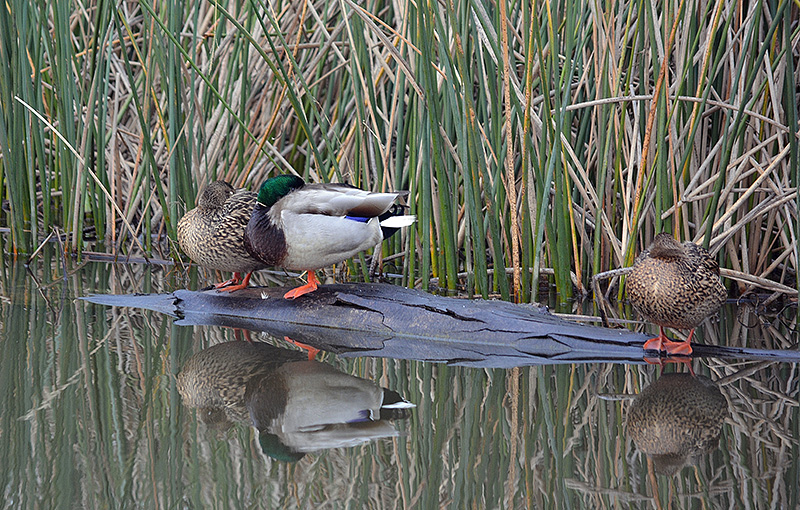 "Mallards are hard to beat for grace and beauty. The drake's dark-blue head shines iridescent green in the light, hence the nickname ""greenhead."" Photo by Steven T. Callan"