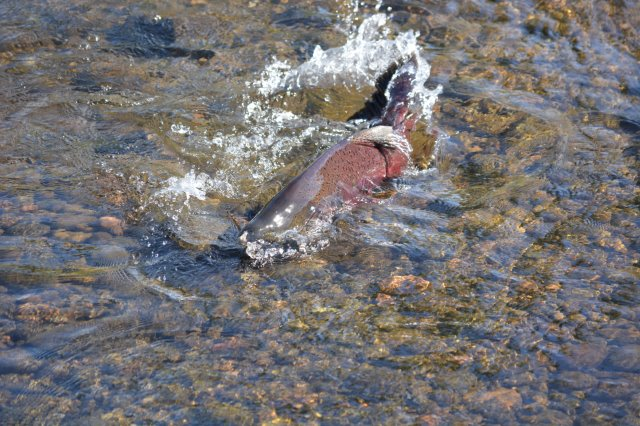 Spawning male Chinook salmon in lower Battle Creek during annual fall run. Photo by Author Steven T. Callan.
