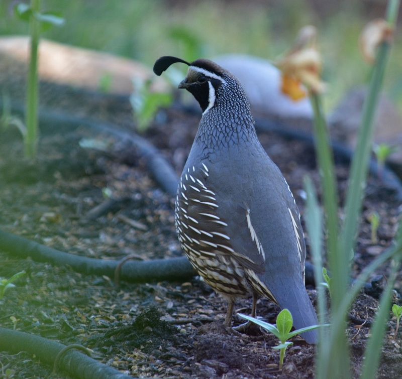 Kathy and I enjoy seeing quail in the yard throughout the year and provide plenty of nearby cover to help keep them safe from predators. Photo by Steven T. Callan.