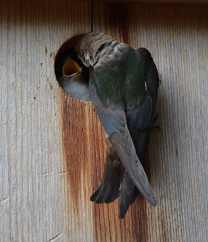 Every winter, I clean out all of the nest boxes and prepare them for new tenants, like these tree swallows. Photo by Kathy Callan.