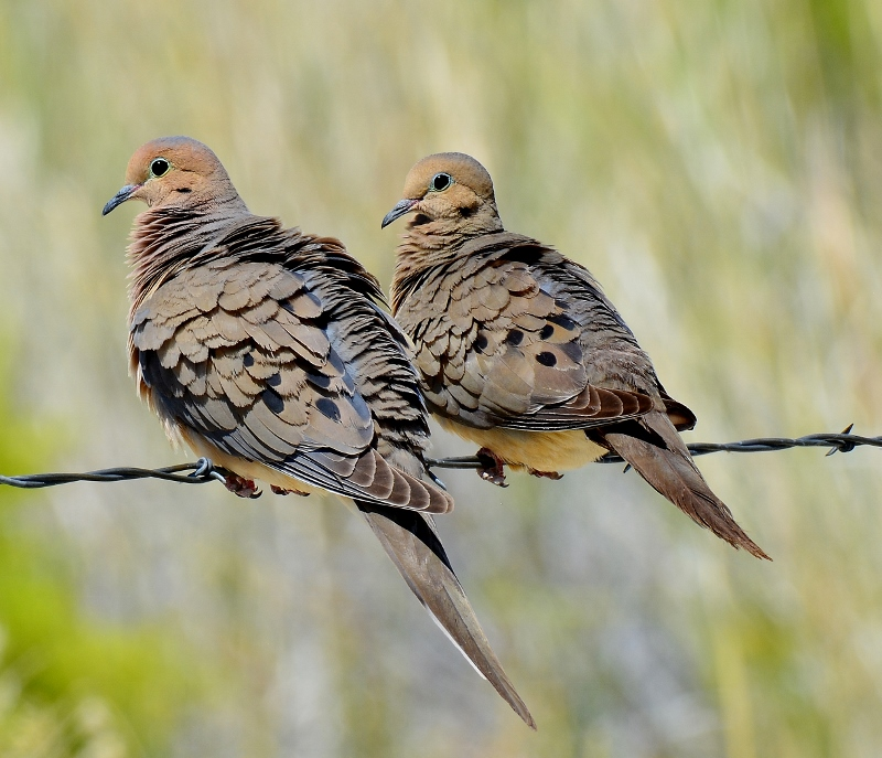 Mourning doves at Fish Slough, a wildlife paradise. Photo by Steven T. Callan.