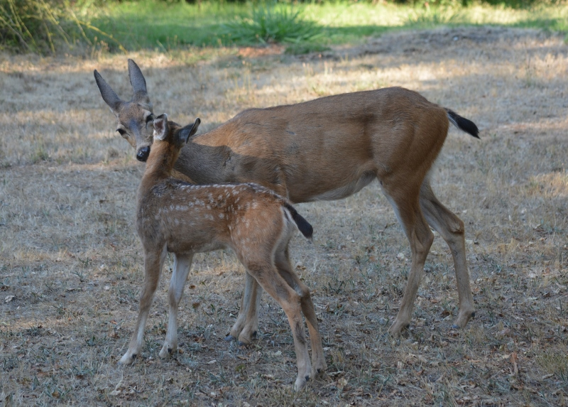Doe and fawn frequently groomed each other, as part of the bonding process.