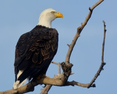Perched bald eagles, like this one, are commonly seen within the Sacramento National Wildlife Refuge Complex, particularly during the winter months when there's plenty of prey available. Other commonly seen raptors are red-tailed hawks, kestrels, red-shouldered hawks, and great horned owls. Photo by Steven T. Callan.