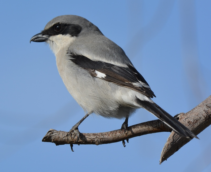 I've seen very few loggerhead shrikes over the years. Those I have seen were too far away and too wary for me to come close enough for a photograph. While at Llano Seco a few months ago, I spotted this one perched on a tree branch, ten feet away. Known for impaling prey (usually grasshoppers or mice) on tree thorns and barbed-wire fences, this predator is one of nature's most clever and fascinating songbirds. Photo by Steven T. Callan.