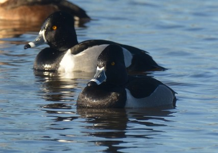 Based on our experience, ring-necked ducks and ruddy ducks are the most common diving ducks found on the Sacramento National Wildlife Refuge Complex. Photo by Steven T. Callan.