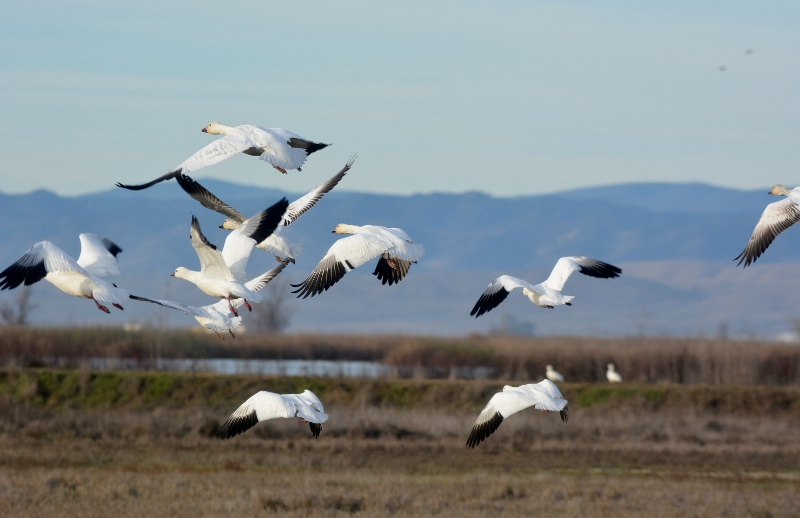 Because of habitat provided within the refuge system, crop damage caused by snow geese has been reduced on private agricultural lands. Photo by Steven T. Callan.