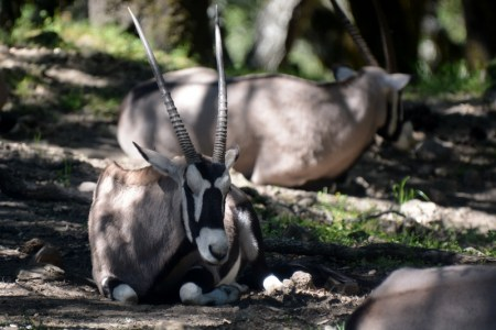 Topping a hillside, we discovered this small herd of gemsbok snoozing amongst the oaks. Photo by Steven T. Callan.
