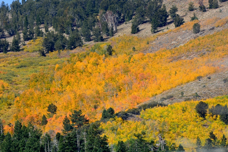 Every fall, aspens put on a magnificent display in California's Eastern Sierra. Photo by Steven T. Callan.