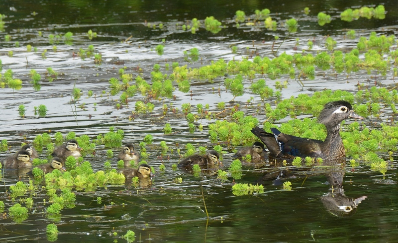Hen wood ducks generally lay between ten and fifteen eggs. This may be nature's way of assuring that at least some of her ducklings survive. Predators abound and include bass, bullfrogs, herons, egrets, domestic cats, ravens, crows, magpies, jays, hawks, owls, raccoons, and foxes. Photo by Steven T. Callan.