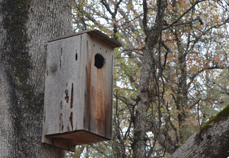 If a suitable tree cavity isn't available, hen wood ducks may choose to nest in a man-made nest box. Over the decades, untold numbers of wood-duck nest boxes have been constructed and strategically placed by wildlife biologists, refuge employees, conservation groups, private landowners, sportsmen's groups, and nature lovers. Photo by Steven T. Callan.