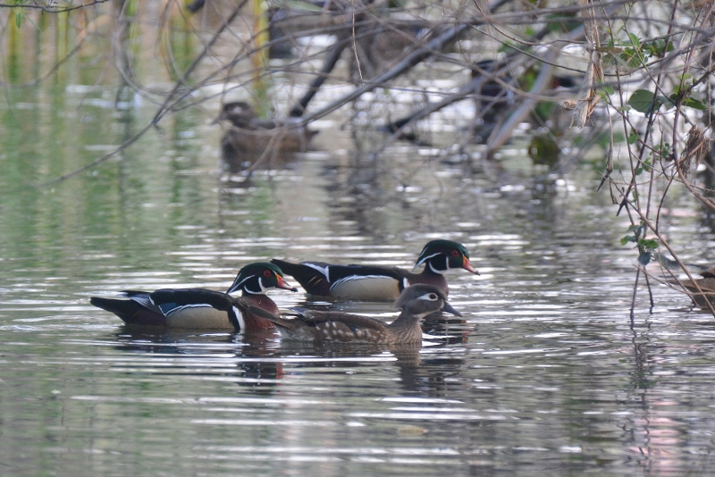 Wood ducks are drawn to isolated streams and backwaters often bordered by oaks, sycamores, willows, and overhanging vegetation. Photo by Steven T. Callan.