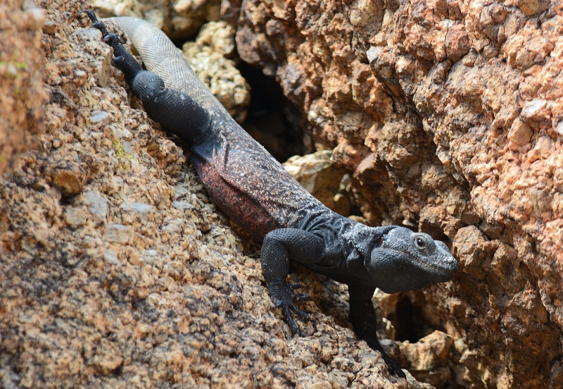 A chuckwalla rests on a rock formation inside Joshua Tree National Park. Photo by Author Steven T. Callan.