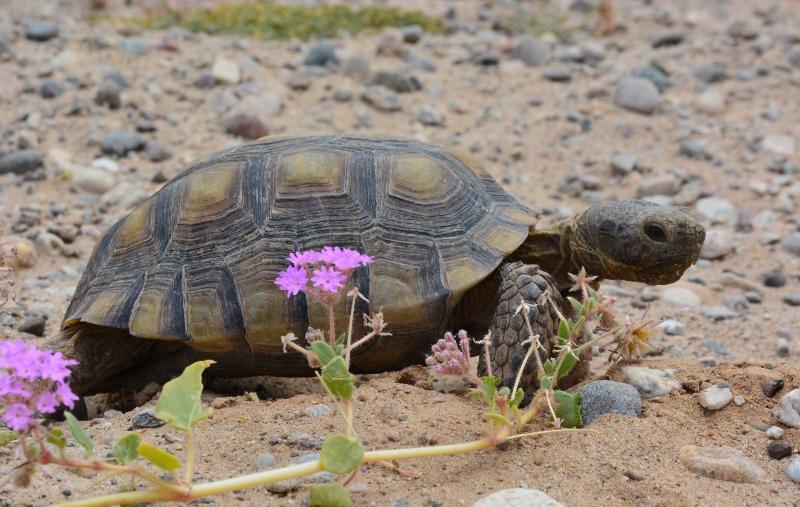 A desert tortoise stands behind a desert verbena plant. Photo by Author Steven T. Callan.