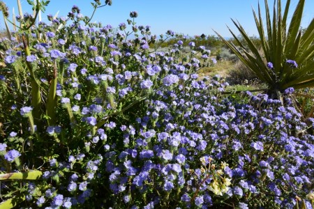 Lavender Phacelia blooms in Joshua Tree National Park. Photo by Author Steven T. Callan.