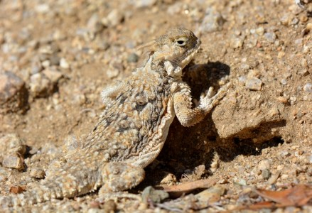 A desert horned lizard blends perfectly with its surroundings at Joshua Tree National Park. Photo by Author Steven T. Callan.