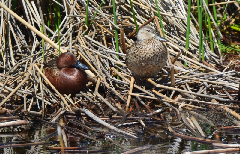 Cinnamon teal commonly breed within the confines of the Butte Valley Wildlife Area during the spring.