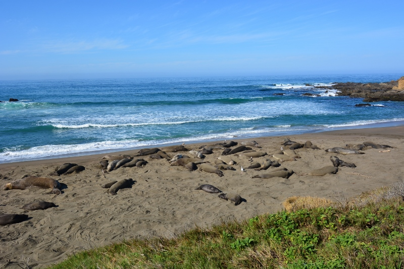A secluded section of beach off the Boucher Trail was occupied by two small groups of elephant seals. Photo by author Steven T. Callan.