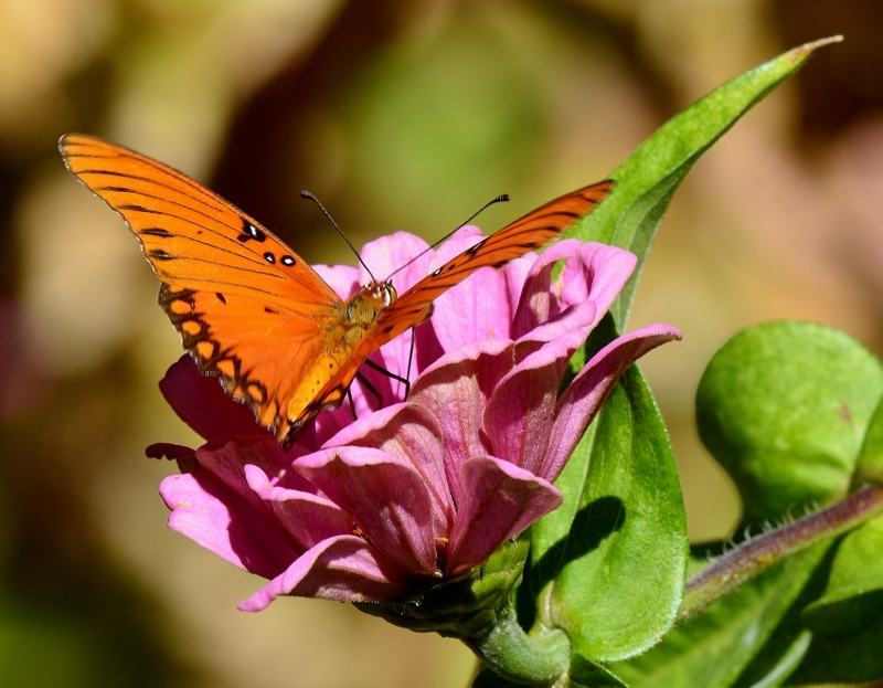 A Gulf fritillary rests on a Zinnia in the garden of author Steven T. Callan.