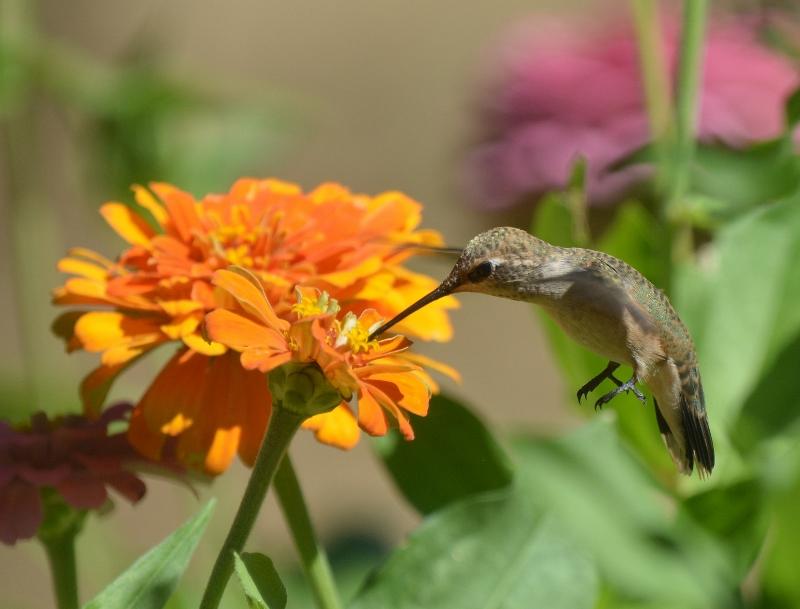 A hummingbird feeds on zinnia nectar in the garden of author Steven T. Callan.