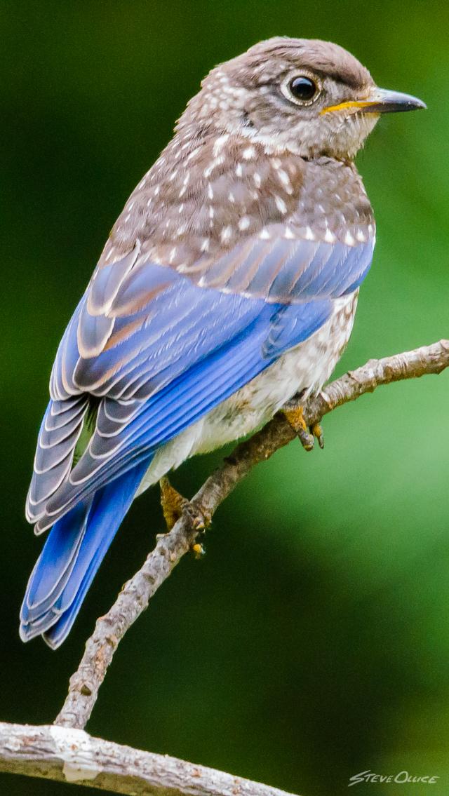 blueBird3_iPhone_Wallpaper