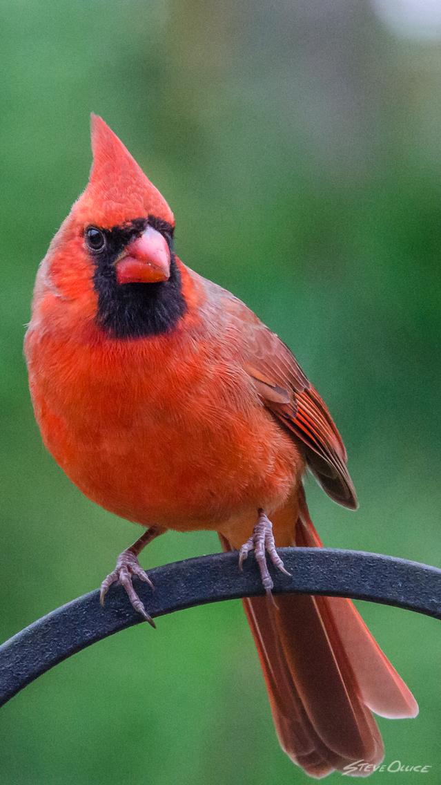 cardinal_iPhone_Wallpaper
