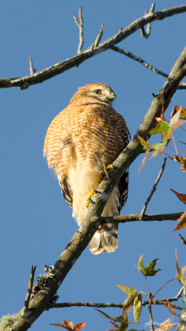 redShoulderedHawk_iPhone_Wallpaper