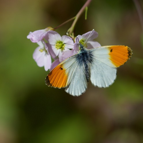 Male orange tip on lady's smock