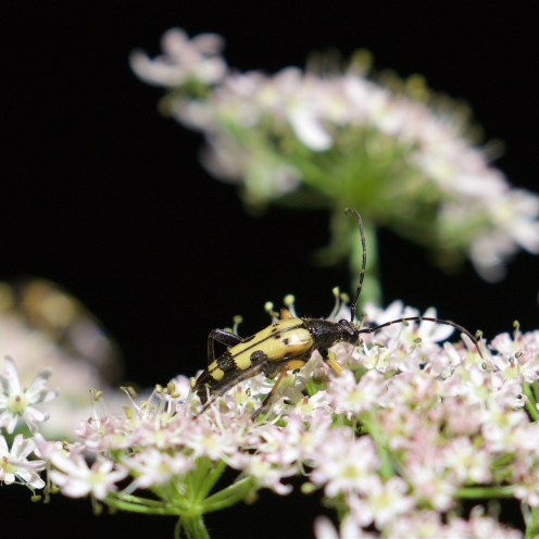 Spotted longhorn beetle Rutpela maculata on hogweed