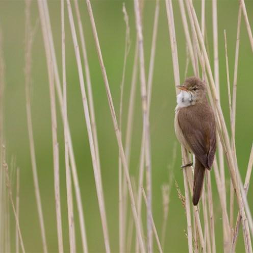 Singing reed warbler, May 28th, 2016